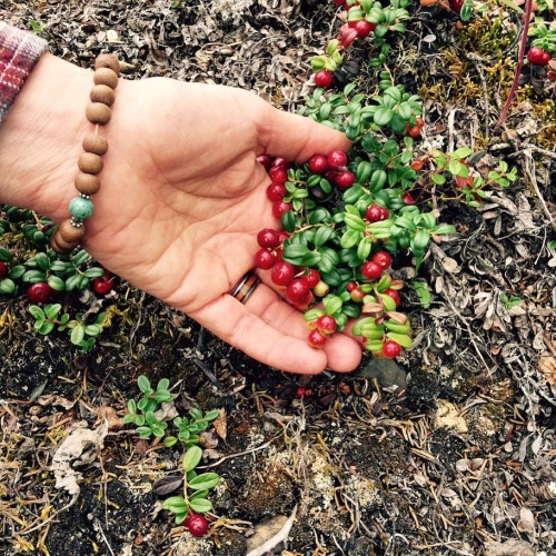Low Bush Cranberries or Lingonberries
