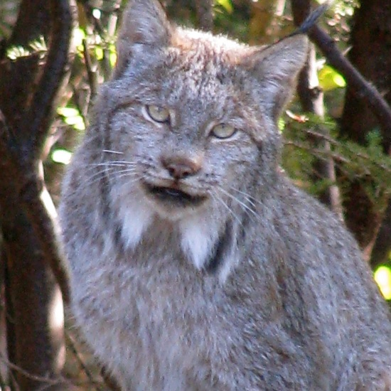 Stewart went for a stroll and met this lynx
