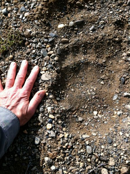 Grizzly Bear Paw Print