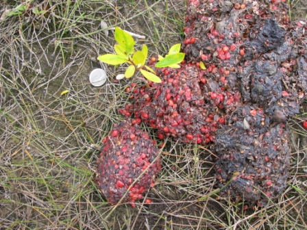 Grizzly Bear Scat