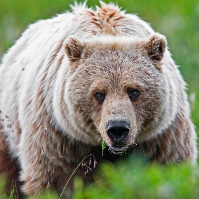 A Denali grizzly bear (Photo credit: National Park Service)