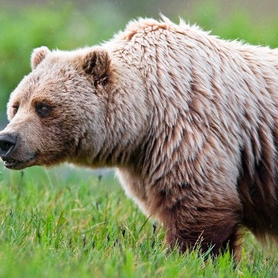 A good view of the grizzly's distinctive shoulder hump (Photo Credit: National Park Service)