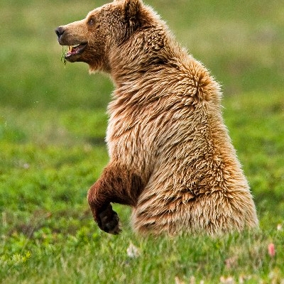 A standing grizzly (Photo Credit: National Park Service)