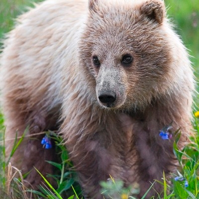 Yearling grizzly cub (Photo Credit: National Park Service)