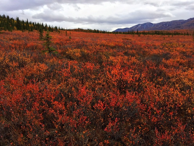 Photo of vivid fall colors on the tundra